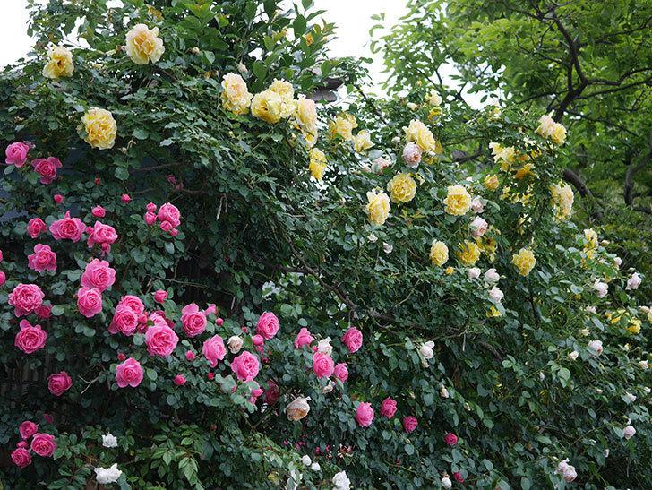 レオナルド・ダ・ヴィンチ(半ツルバラ)の花が満開になった。2020年-016.jpg
