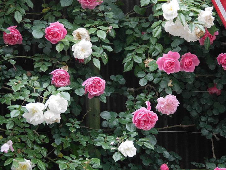 レオナルド・ダ・ヴィンチ(半ツルバラ)の花が満開になった。2020年-017.jpg
