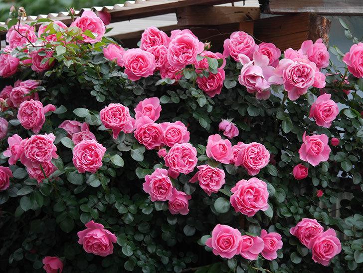 レオナルド・ダ・ヴィンチ(半ツルバラ)の花が満開になった。2020年-018.jpg