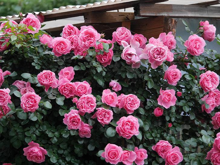 レオナルド・ダ・ヴィンチ(半ツルバラ)の花が満開になった。2020年-019.jpg