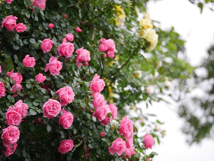 レオナルド・ダ・ヴィンチ(半ツルバラ)の花が満開になった。2020年-020.jpg