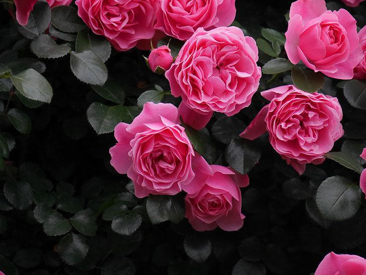 レオナルド・ダ・ヴィンチ(半ツルバラ)の花が満開になった。2020年-021.jpg