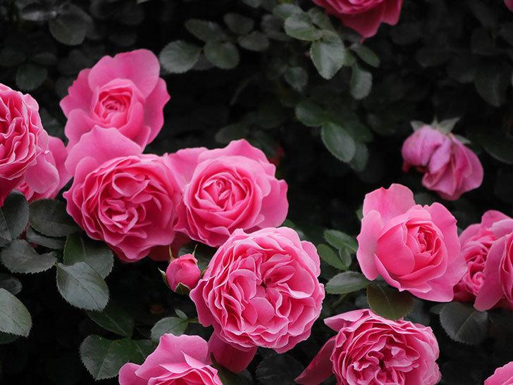 レオナルド・ダ・ヴィンチ(半ツルバラ)の花が満開になった。2020年-022.jpg
