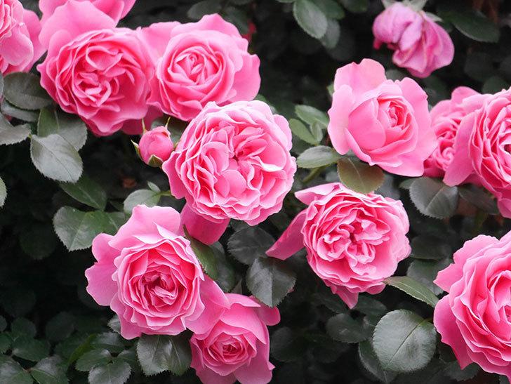 レオナルド・ダ・ヴィンチ(半ツルバラ)の花が満開になった。2020年-024.jpg