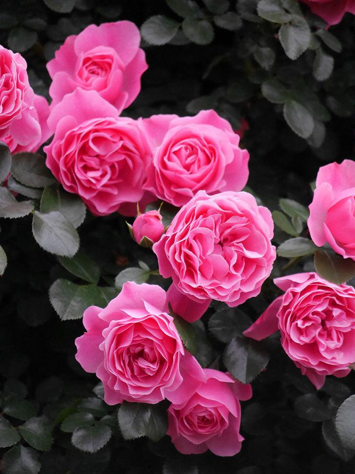 レオナルド・ダ・ヴィンチ(半ツルバラ)の花が満開になった。2020年-025.jpg