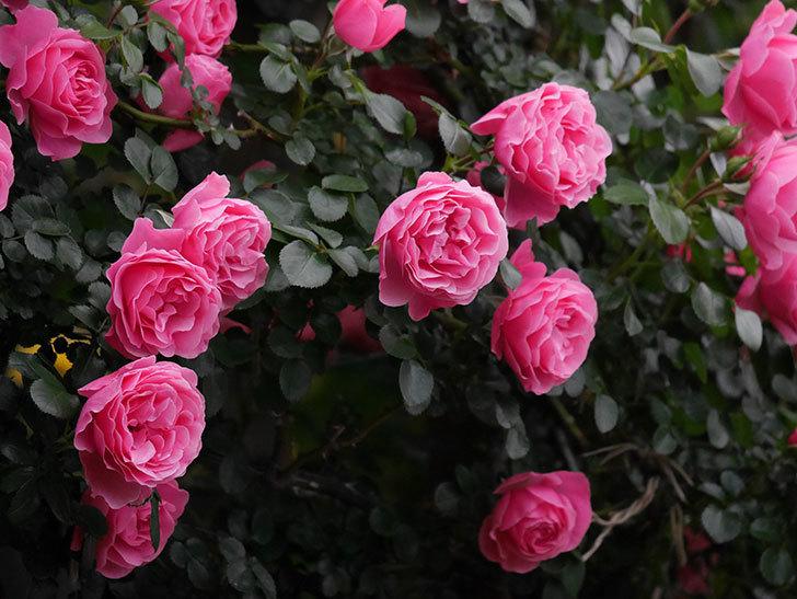 レオナルド・ダ・ヴィンチ(半ツルバラ)の花が満開になった。2020年-026.jpg