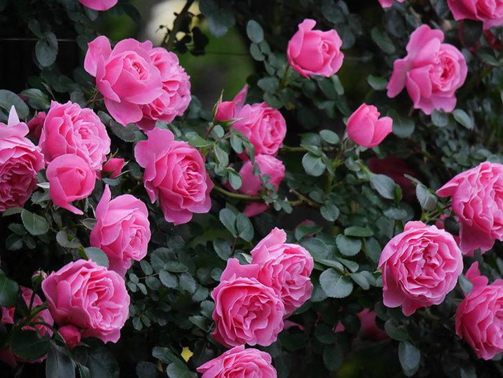 レオナルド・ダ・ヴィンチ(半ツルバラ)の花が満開になった。2020年-027.jpg