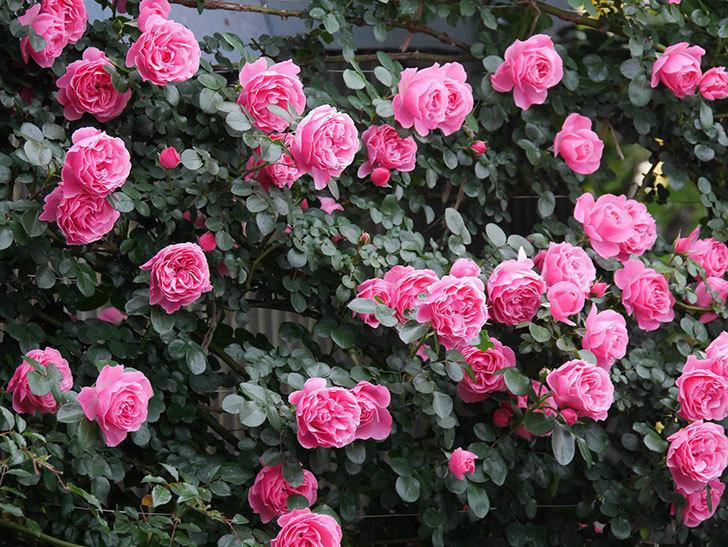 レオナルド・ダ・ヴィンチ(半ツルバラ)の花が満開になった。2020年-028.jpg