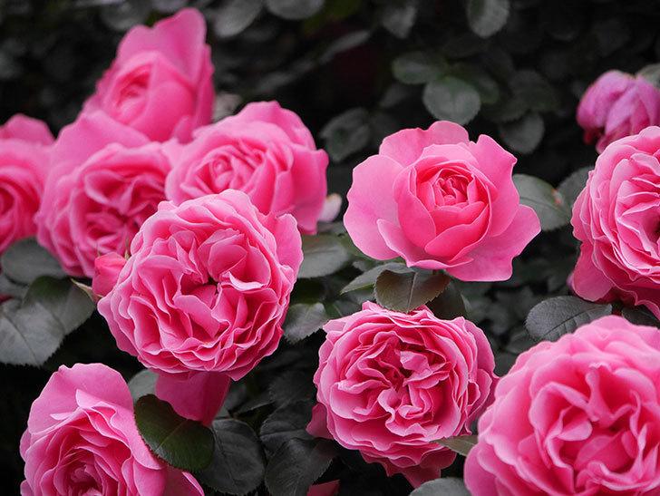 レオナルド・ダ・ヴィンチ(半ツルバラ)の花が満開になった。2020年-029.jpg