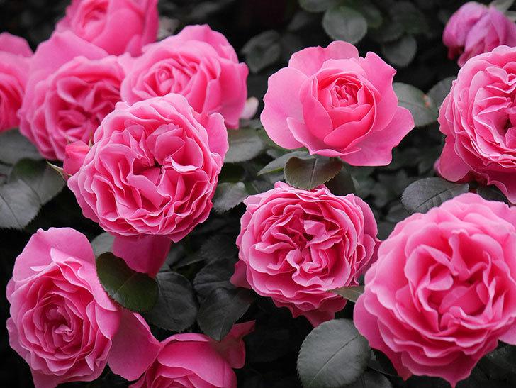 レオナルド・ダ・ヴィンチ(半ツルバラ)の花が満開になった。2020年-030.jpg