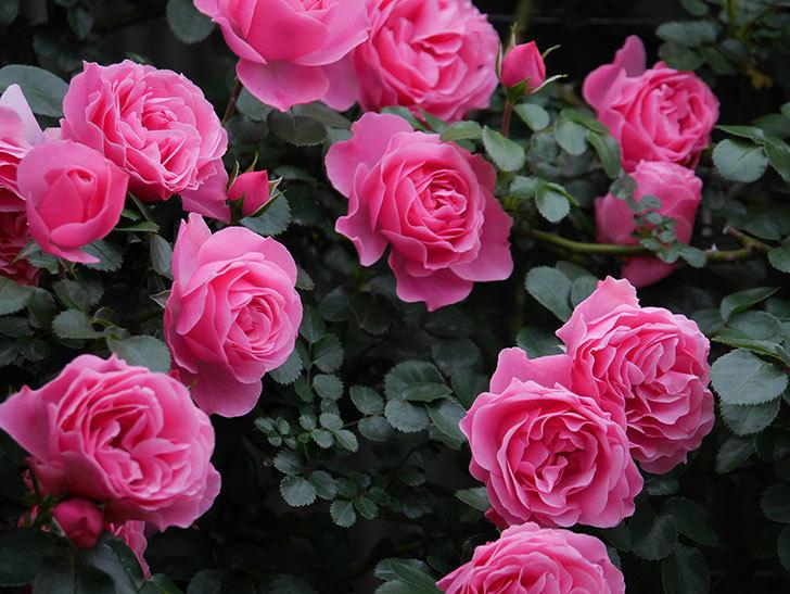 レオナルド・ダ・ヴィンチ(半ツルバラ)の花が満開になった。2020年-031.jpg