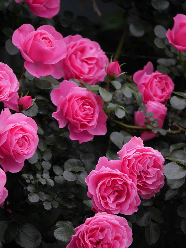 レオナルド・ダ・ヴィンチ(半ツルバラ)の花が満開になった。2020年-032.jpg