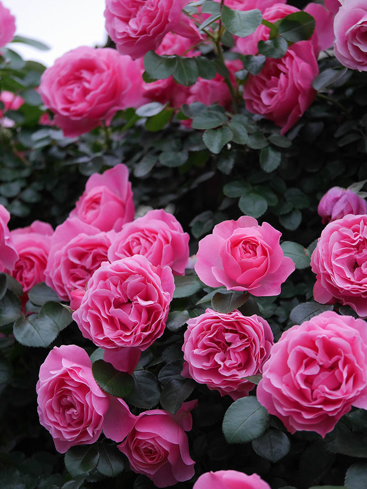 レオナルド・ダ・ヴィンチ(半ツルバラ)の花が満開になった。2020年-033.jpg