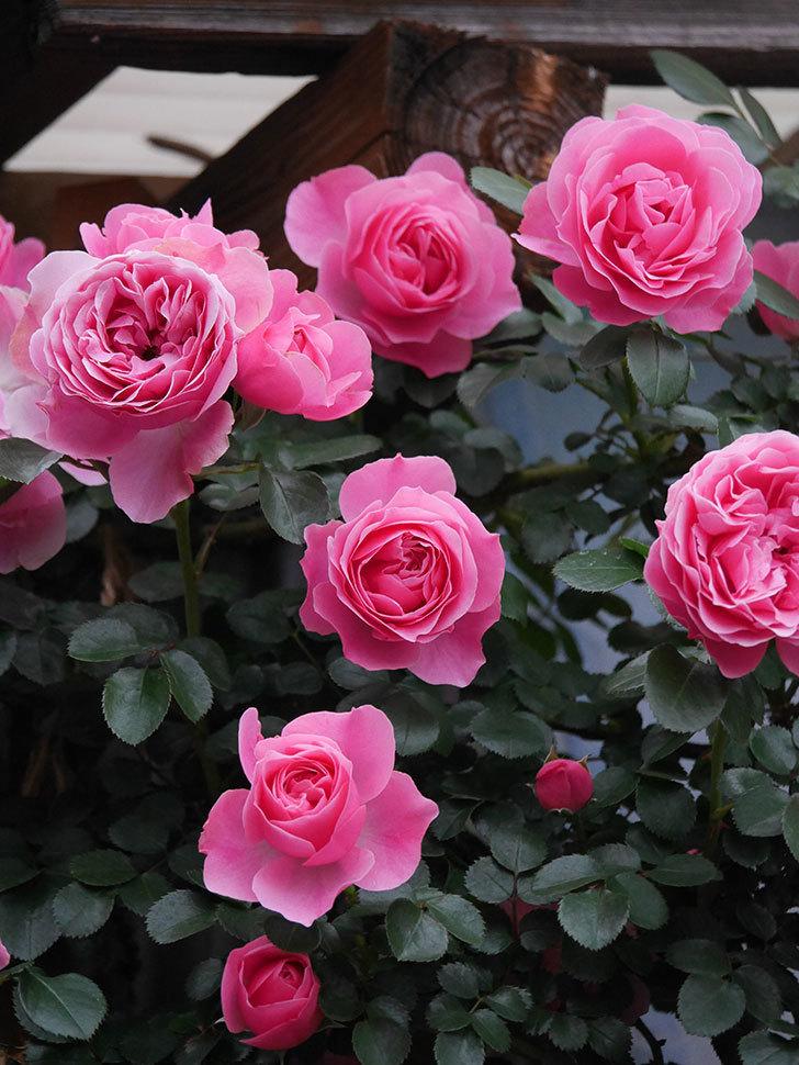レオナルド・ダ・ヴィンチ(半ツルバラ)の花が満開になった。2020年-034.jpg