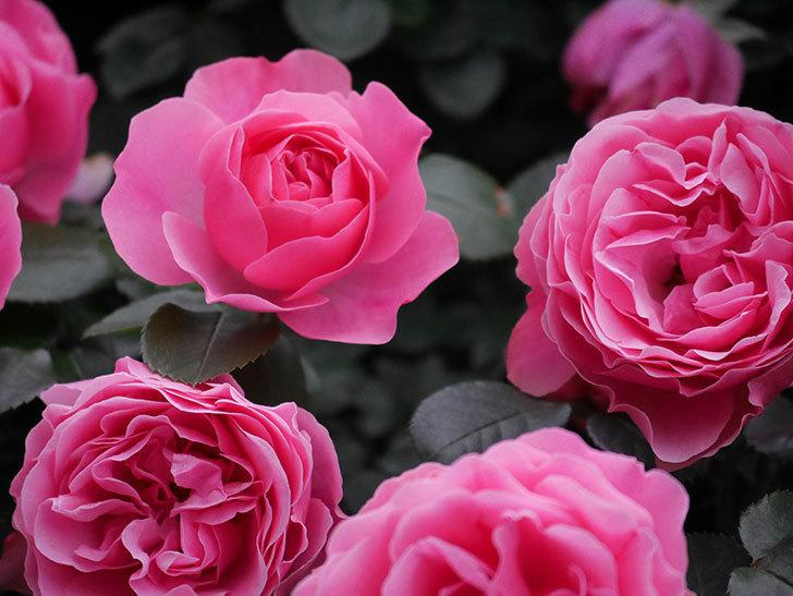 レオナルド・ダ・ヴィンチ(半ツルバラ)の花が満開になった。2020年-035.jpg