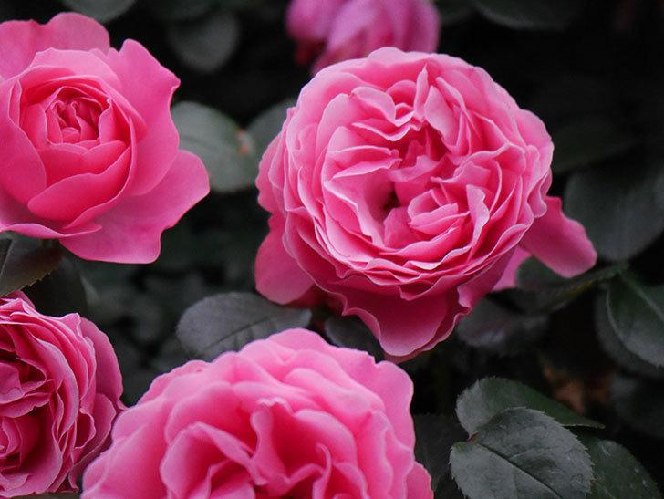 レオナルド・ダ・ヴィンチ(半ツルバラ)の花が満開になった。2020年-036.jpg