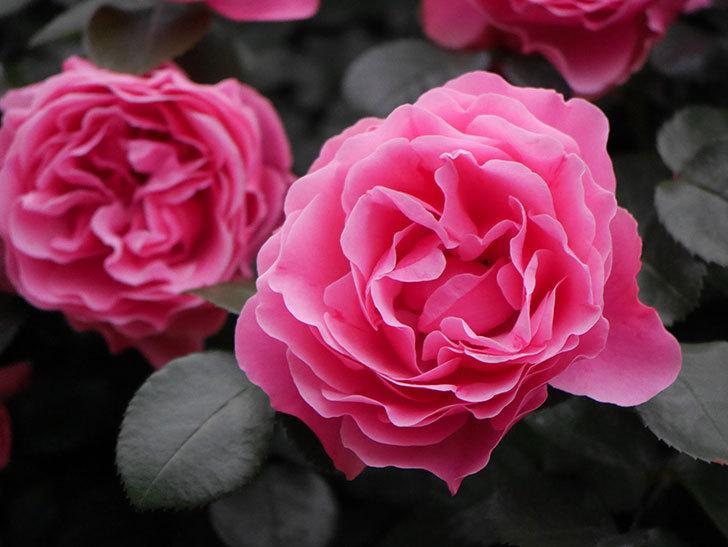 レオナルド・ダ・ヴィンチ(半ツルバラ)の花が満開になった。2020年-037.jpg