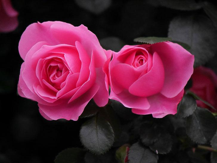 レオナルド・ダ・ヴィンチ(半ツルバラ)の花が満開になった。2020年-038.jpg