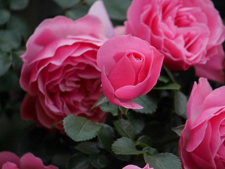 レオナルド・ダ・ヴィンチ(半ツルバラ)の花が満開になった。2020年-039.jpg