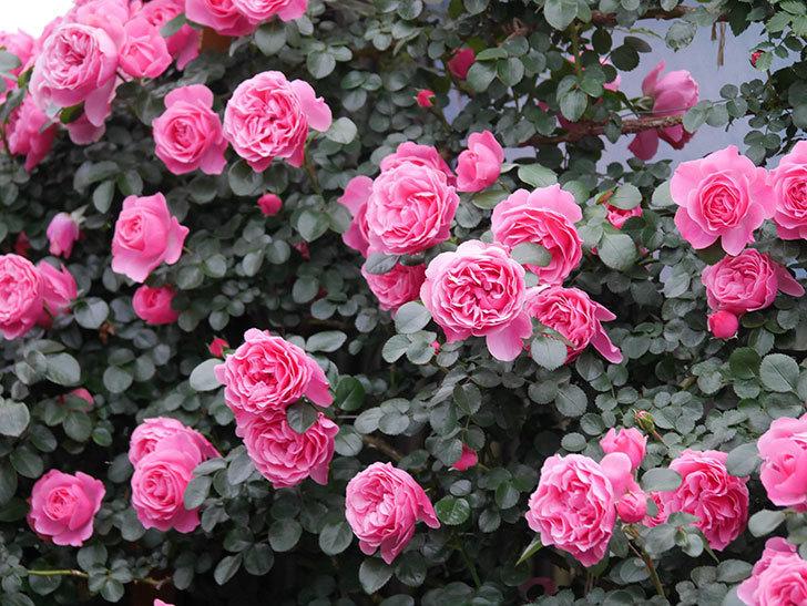 レオナルド・ダ・ヴィンチ(半ツルバラ)の花が満開になった。2020年-040.jpg