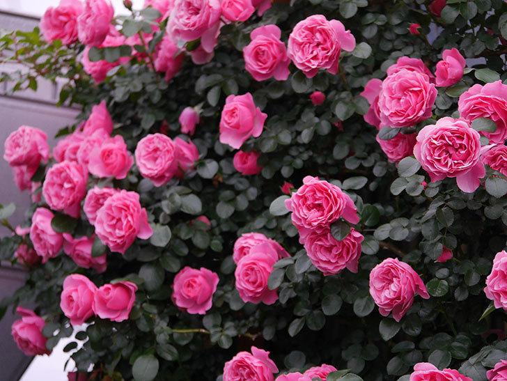 レオナルド・ダ・ヴィンチ(半ツルバラ)の花が満開になった。2020年-041.jpg