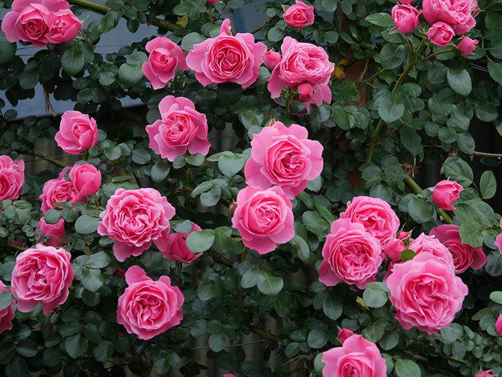 レオナルド・ダ・ヴィンチ(半ツルバラ)の花が満開になった。2020年-042.jpg