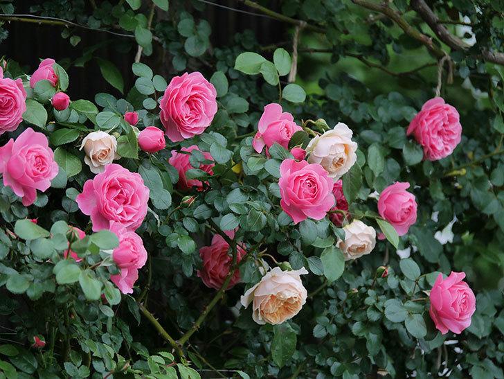 レオナルド・ダ・ヴィンチ(半ツルバラ)の花が満開になった。2020年-043.jpg
