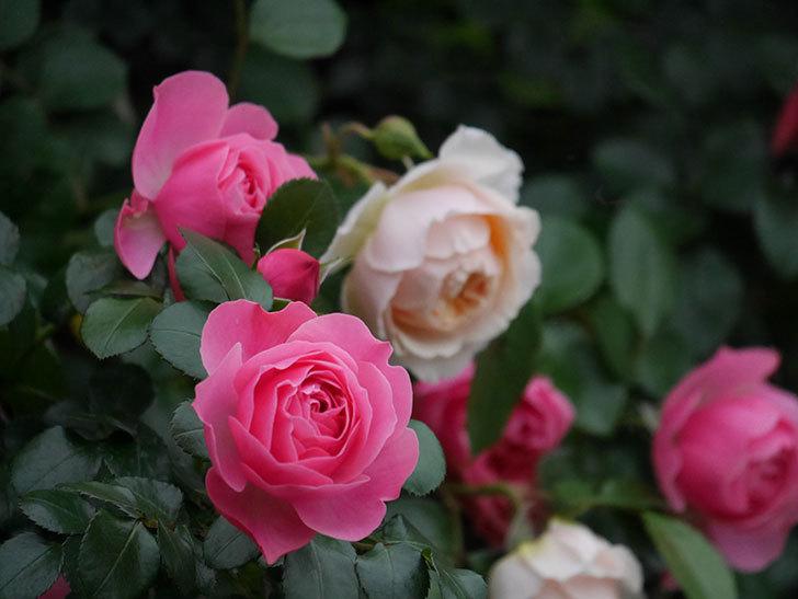 レオナルド・ダ・ヴィンチ(半ツルバラ)の花が満開になった。2020年-044.jpg