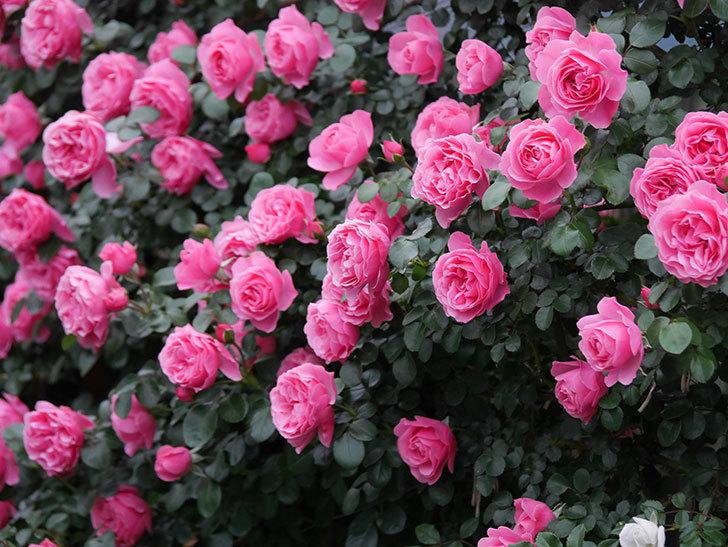レオナルド・ダ・ヴィンチ(半ツルバラ)の花が満開になった。2020年-045.jpg