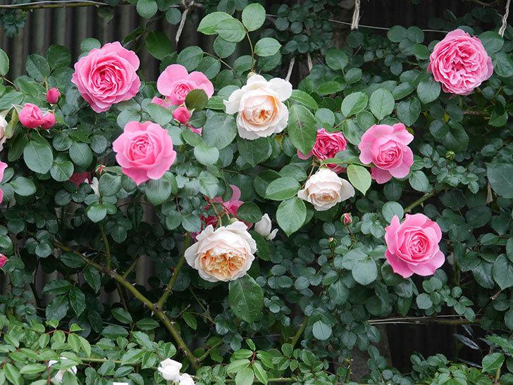 レオナルド・ダ・ヴィンチ(半ツルバラ)の花が満開になった。2020年-046.jpg