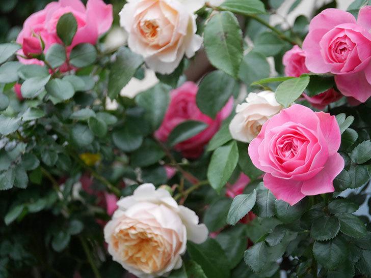 レオナルド・ダ・ヴィンチ(半ツルバラ)の花が満開になった。2020年-047.jpg