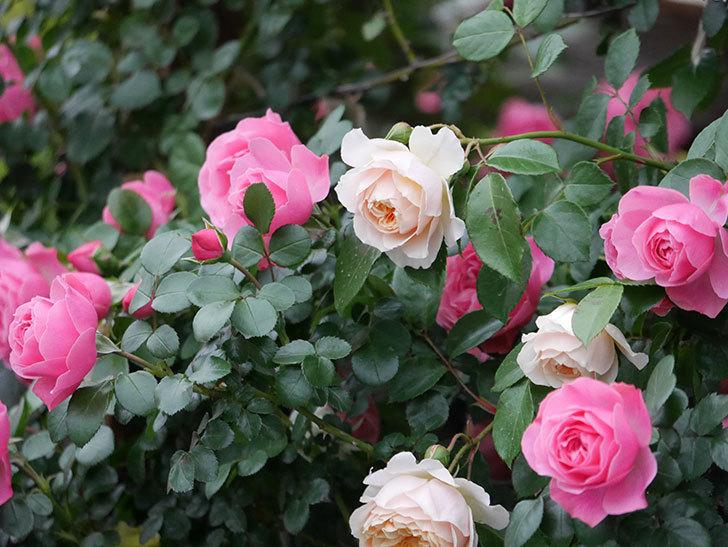 レオナルド・ダ・ヴィンチ(半ツルバラ)の花が満開になった。2020年-048.jpg