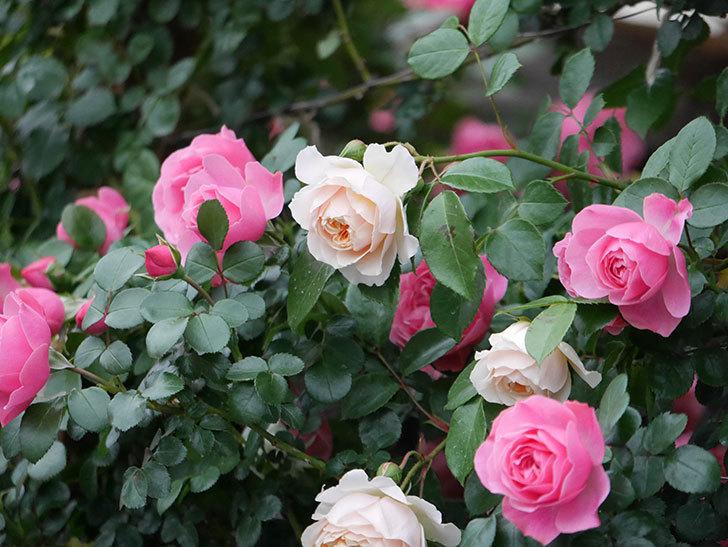 レオナルド・ダ・ヴィンチ(半ツルバラ)の花が満開になった。2020年-049.jpg