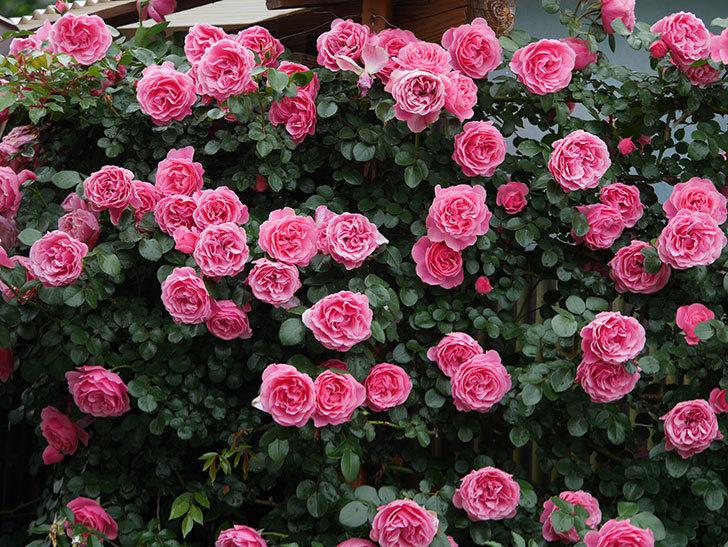 レオナルド・ダ・ヴィンチ(半ツルバラ)の花が満開になった。2020年-050.jpg