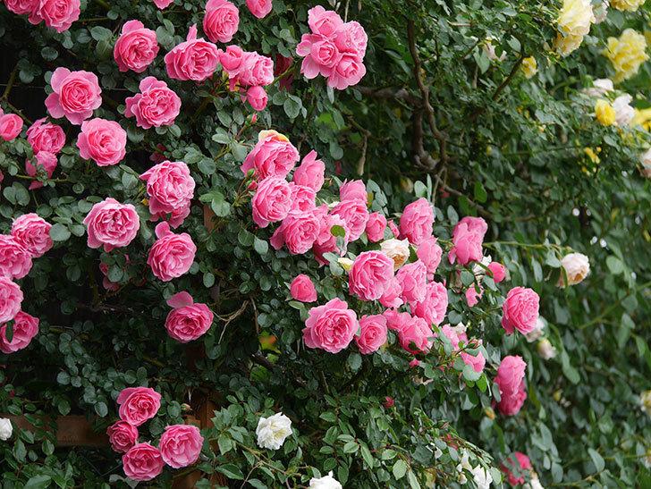 レオナルド・ダ・ヴィンチ(半ツルバラ)の花が満開になった。2020年-051.jpg