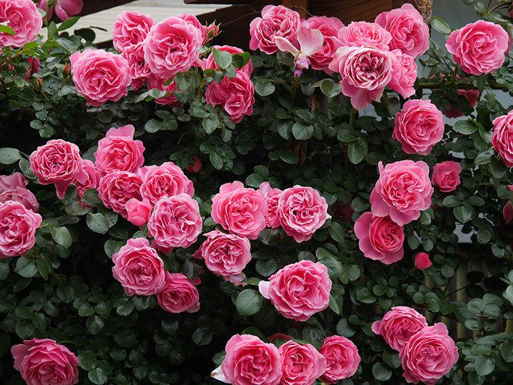レオナルド・ダ・ヴィンチ(半ツルバラ)の花が満開になった。2020年-052.jpg