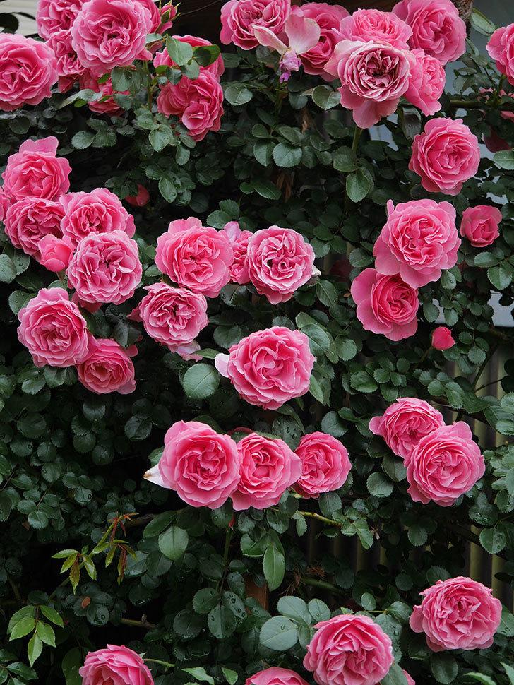 レオナルド・ダ・ヴィンチ(半ツルバラ)の花が満開になった。2020年-053.jpg
