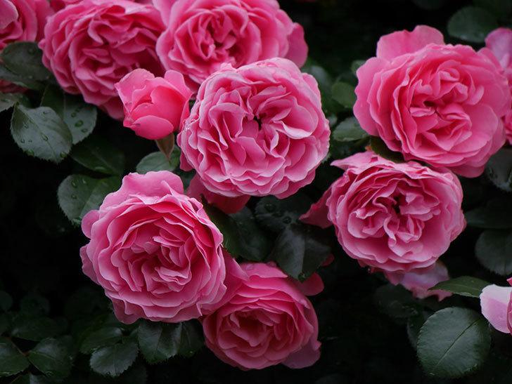 レオナルド・ダ・ヴィンチ(半ツルバラ)の花が満開になった。2020年-054.jpg