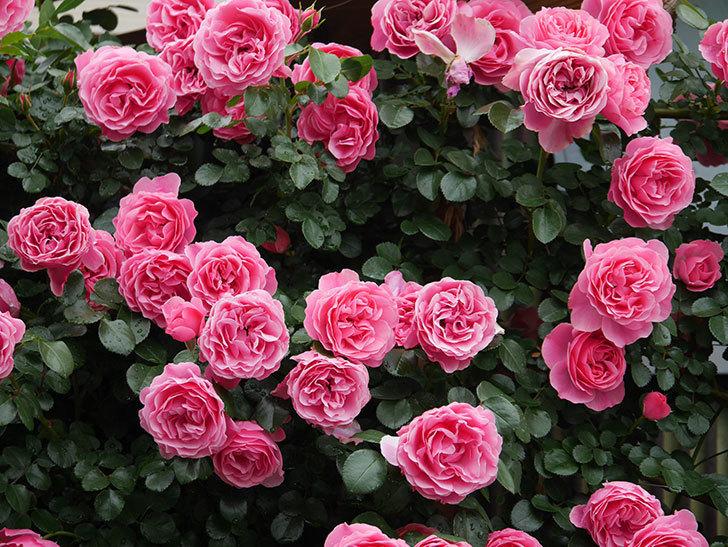 レオナルド・ダ・ヴィンチ(半ツルバラ)の花が満開になった。2020年-055.jpg