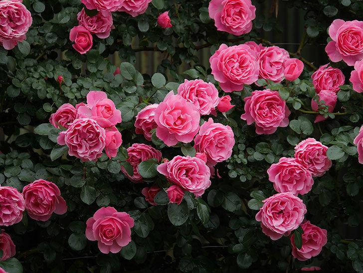 レオナルド・ダ・ヴィンチ(半ツルバラ)の花が満開になった。2020年-056.jpg