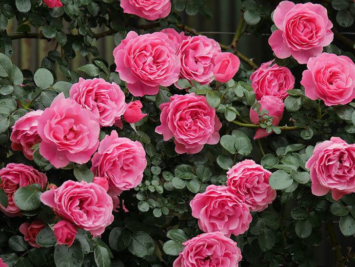 レオナルド・ダ・ヴィンチ(半ツルバラ)の花が満開になった。2020年-057.jpg