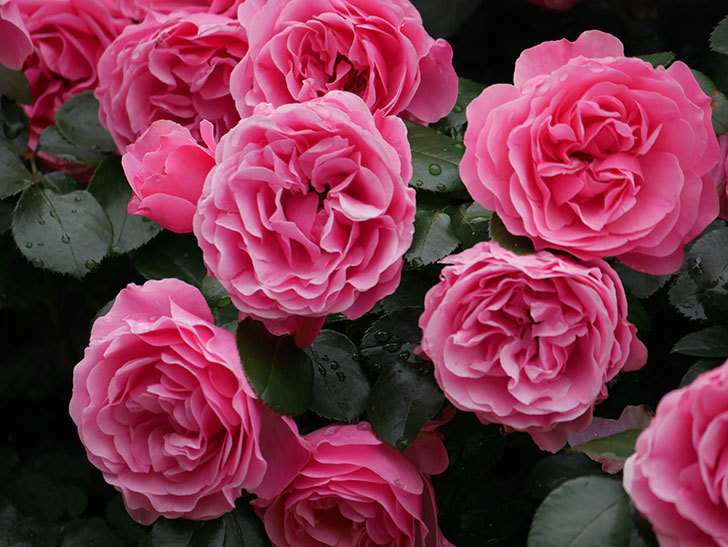 レオナルド・ダ・ヴィンチ(半ツルバラ)の花が満開になった。2020年-059.jpg
