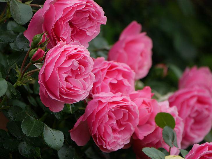 レオナルド・ダ・ヴィンチ(半ツルバラ)の花が満開になった。2020年-060.jpg