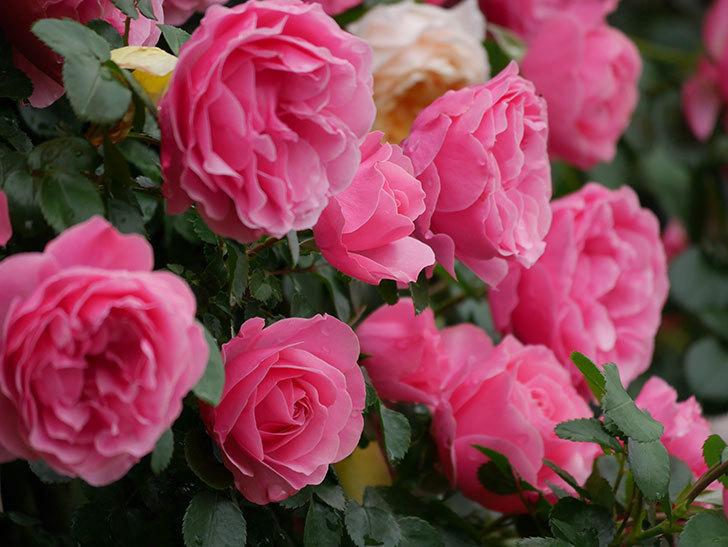 レオナルド・ダ・ヴィンチ(半ツルバラ)の花が満開になった。2020年-061.jpg