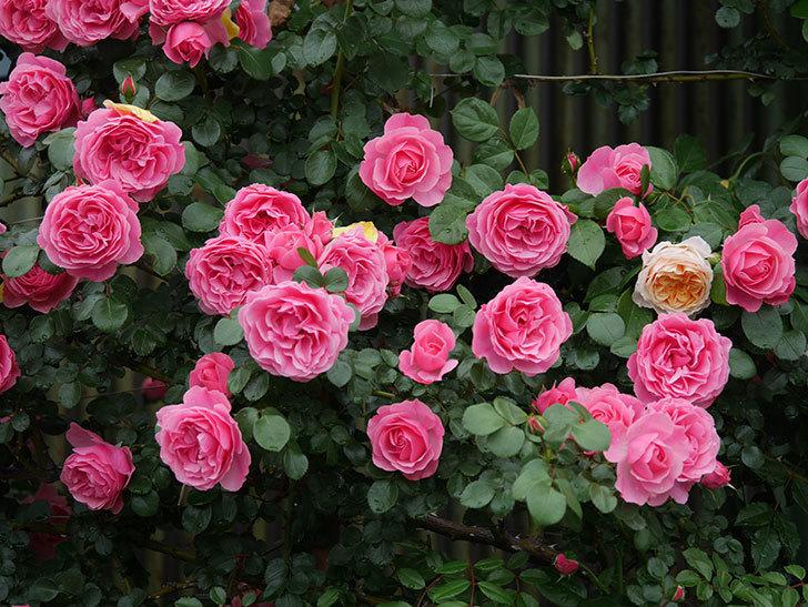 レオナルド・ダ・ヴィンチ(半ツルバラ)の花が満開になった。2020年-062.jpg