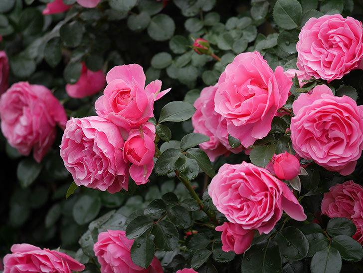 レオナルド・ダ・ヴィンチ(半ツルバラ)の花が満開になった。2020年-063.jpg