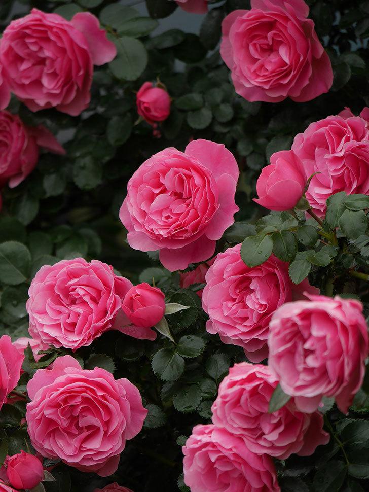 レオナルド・ダ・ヴィンチ(半ツルバラ)の花が満開になった。2020年-064.jpg