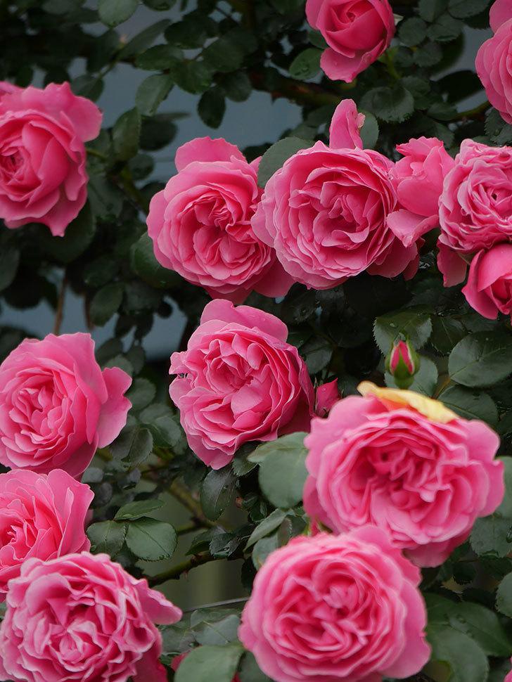 レオナルド・ダ・ヴィンチ(半ツルバラ)の花が満開になった。2020年-065.jpg