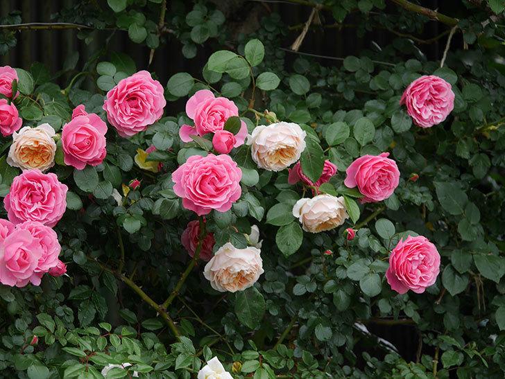 レオナルド・ダ・ヴィンチ(半ツルバラ)の花が満開になった。2020年-066.jpg