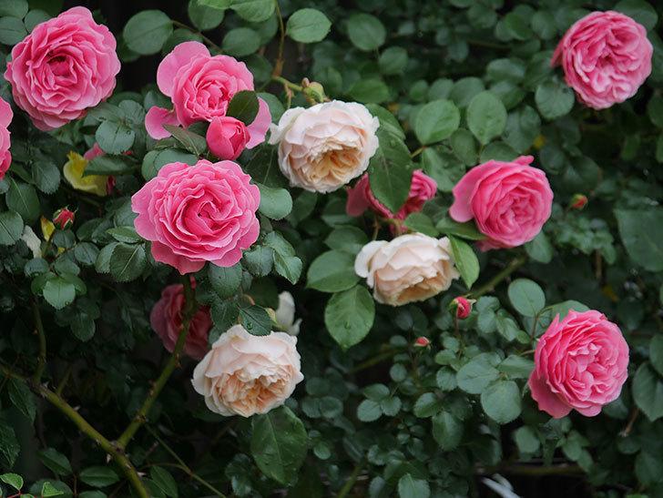 レオナルド・ダ・ヴィンチ(半ツルバラ)の花が満開になった。2020年-067.jpg